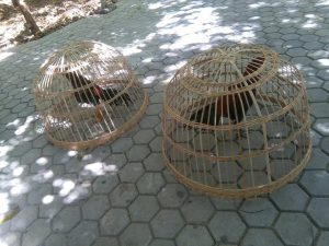 Marlon: Tim Dari Rote Juga Ikut Kontes Ayam Laga